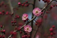 Fiore e lampadina della prugna che escono nella molla in anticipo Fotografie Stock