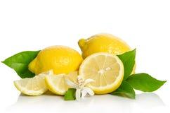 Fiore e limoni dell'albero di limoni Immagine Stock