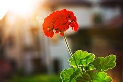 Fiore e luce solare del geranio del giardino (pelargonium) Immagine Stock Libera da Diritti