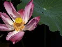 Fiore e piante di Lotus Immagine Stock Libera da Diritti
