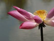 Fiore e piante di Lotus Fotografia Stock