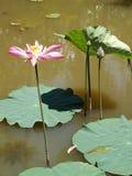 Fiore e piante di Lotus Fotografie Stock Libere da Diritti