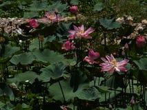 Fiore e piante di Lotus Immagini Stock Libere da Diritti