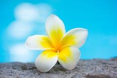 Fiore e piscina tropicali del frangipani Fotografie Stock Libere da Diritti