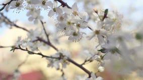 Fiore e rami di ciliegia sull'albero nella vista di panorama Primo piano del fiore stock footage