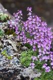Fiore e roccia rosa Immagini Stock Libere da Diritti
