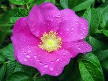 Fiore e rugiada Immagini Stock Libere da Diritti