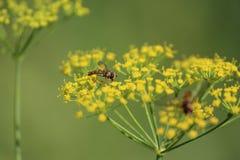 Fiore e seme dell'anice Fotografia Stock Libera da Diritti