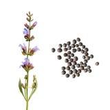 Fiore e semi della salvia comune su fondo bianco Semi del salvia officinalis della salvia comune su fondo bianco Fotografia Stock Libera da Diritti