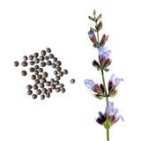 Fiore e semi della salvia comune su fondo bianco Semi del salvia officinalis della salvia comune su fondo bianco Immagini Stock