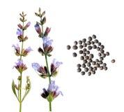 Fiore e semi della salvia comune su fondo bianco Semi del salvia officinalis della salvia comune su fondo bianco Fotografia Stock