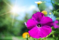Fiore e sole della petunia Immagine Stock