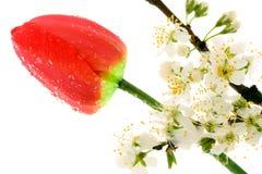 Fiore e tulipano di ciliegia Fotografia Stock Libera da Diritti