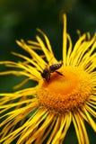 Fiore e un ape Immagine Stock Libera da Diritti
