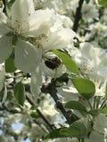 fiore ed ape fotografie stock
