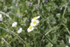 Fiore ed erba soleggiati della margherita fotografia stock