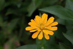 Fiore elegante di zinnia gialla fotografia stock