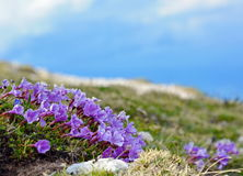 Fiore enzian blu Fotografia Stock