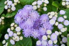 Fiore/erba porpora con le foglie verdi Giardino, natura fotografia stock