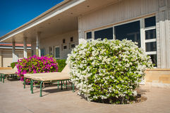 Fiore esotico del cespuglio bianco della buganvillea fotografie stock libere da diritti
