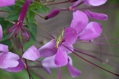 Fiore esotico lilla Fotografia Stock