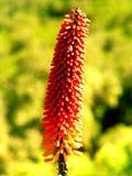 Fiore etiopico immagini stock