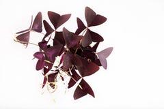 Fiore falso dell'acetosella Immagini Stock Libere da Diritti