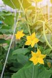 Fiore femminile giallo del cetriolo nel fuoco selettivo della pianta del campo Fotografie Stock