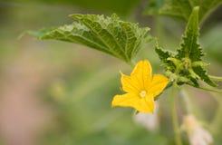 Fiore femminile giallo del cetriolo nell'azienda agricola di agricoltura della pianta del campo Fotografia Stock