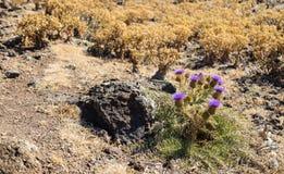 Fiore filetovy spinoso nel distretto droughty del deserto vicino ad asciutto Fotografia Stock Libera da Diritti