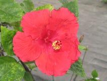 Fiore filippino unico fotografie stock