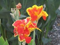Fiore filippino unico immagine stock