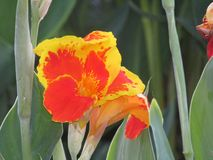 Fiore filippino unico fotografia stock