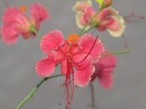 Fiore filippino unico immagine stock libera da diritti
