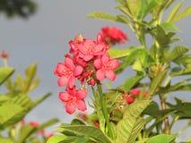 Fiore filippino unico fotografia stock libera da diritti