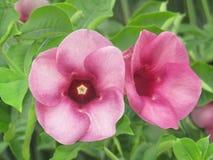 Fiore filippino unico fotografie stock libere da diritti