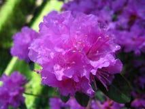 Fiore Fiore rosa Fotografie Stock Libere da Diritti