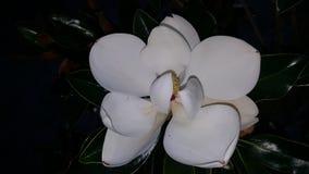 Fiore fiorito rosa della magnolia Fotografie Stock Libere da Diritti