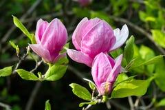 Fiore fiorito rosa della magnolia Immagini Stock