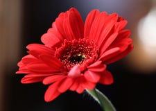 Fiore floreale della gerbera con impatto emotivo immagine stock