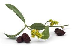 Fiore, foglie e semi chinensis di Simmondsia del jojoba Fotografie Stock Libere da Diritti