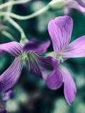 Fiore fortunato del trifoglio che balla con il vento fotografia stock libera da diritti