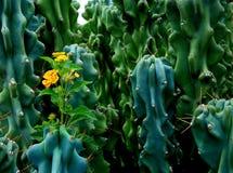 Fiore fra le spine del cactus fotografia stock libera da diritti