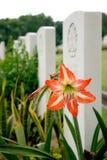 Fiore fra le tombe Fotografie Stock