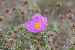 Fiore fragrante del Rockrose Immagine Stock Libera da Diritti