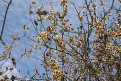 Fiore fragrante di inverno del praecox del Chimonanthus immagine stock