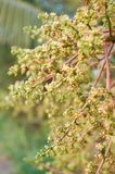 Fiore fresco del mango Immagine Stock
