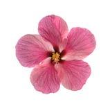 Fiore fresco dell'ibisco Immagine Stock
