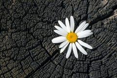 Fiore fresco della camomilla su un vecchio ceppo carbonizzato con le crepe ed il primo piano degli anelli annuali Immagini Stock Libere da Diritti