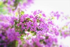 Fiore fresco della molla di colore rosa per fondo Immagine Stock Libera da Diritti